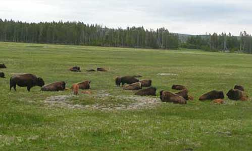 Buffalo and calfs US Route 89 Roadside Diversion: Yellowstone Buffalo