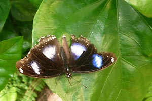 Butterfly with blue spots, Tucson Botanical Gardens, Tucson, Arizona