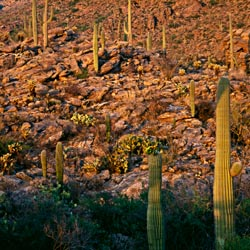 Sunset at Saguaro National Park, Tucson, Arizona