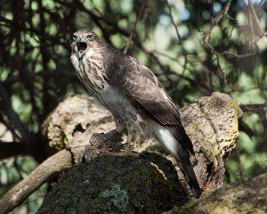 Juvenile Cooper's Hawk-Accipiter cooperii
