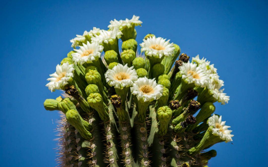 Getting the Most Out of a Visit to Saguaro National Park