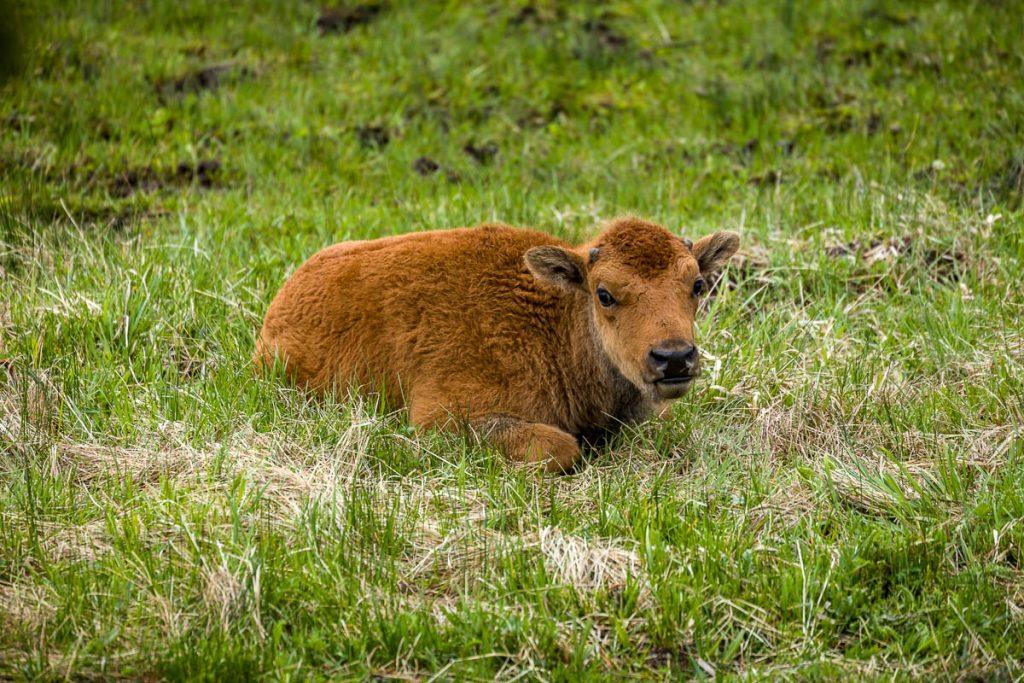 Buffalo-Yellowstone National Park, Wyoming