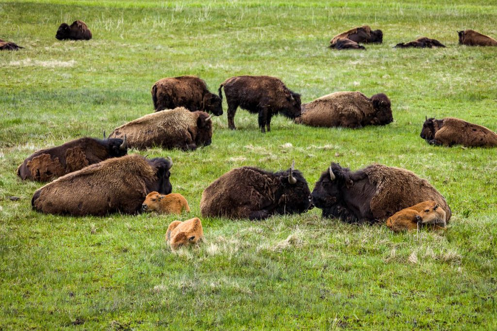 Buffalo-Yellowstone National Park, Wyoming