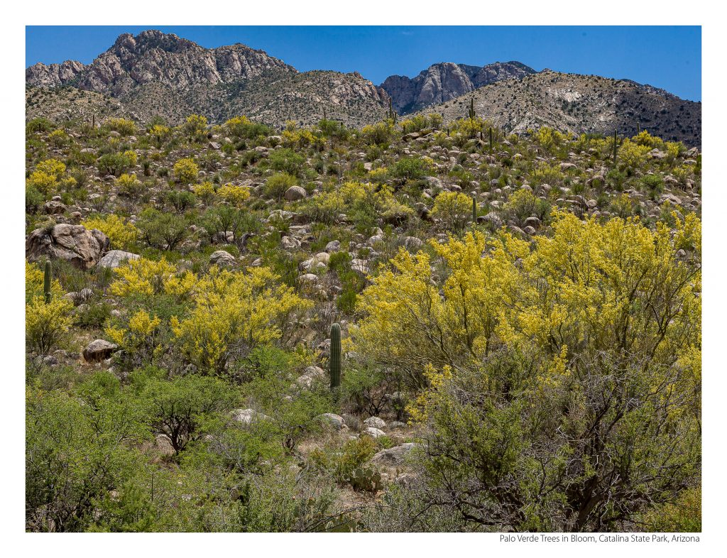 US Route 89 2021 Calendar-May-Palo Verde Trees in Bloom, Catalina State Park, Arizona